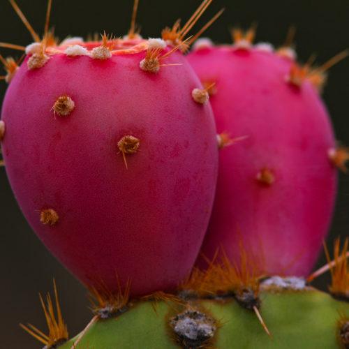 φραγκόσυκο prickly pear